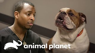 Bulldog se come un juguete y pone en riesgo su vida | Veterinarios de Texas | Animal Planet