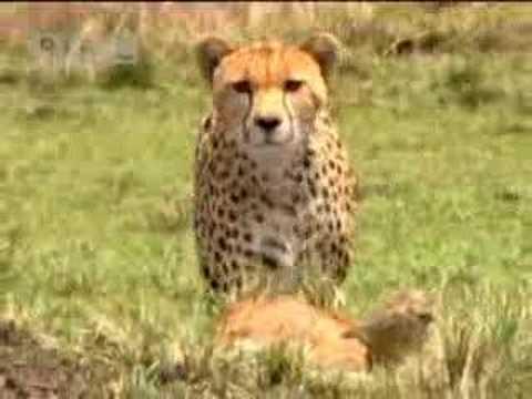 Cheetah vs baby gazelle - BBC wildlife