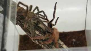 Разведение паука птицееда Tapinauchenius gigas (гигаса)