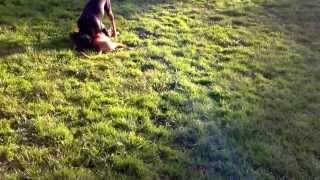 Bruce The Ridgeback X Staffy Vs A Rottweiler Pt2
