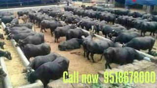 Murrah Buffalo supplier in Maharashtra 9518678000