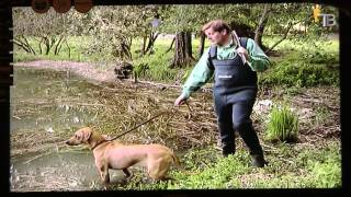 Родезийский риджбек