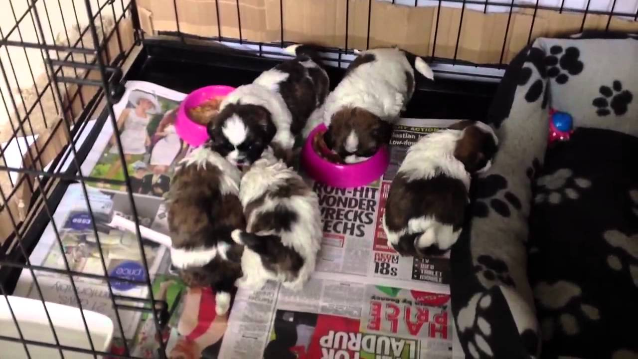 Shih Tzu Puppy 4 Weeks Old Starting Weaning On Solid Food Youtube