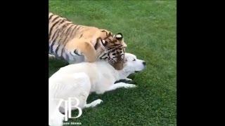 Тигр против алабая