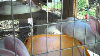 Raising New Zealand White Meat Rabbits From Start To Finish 7 Weeks Old