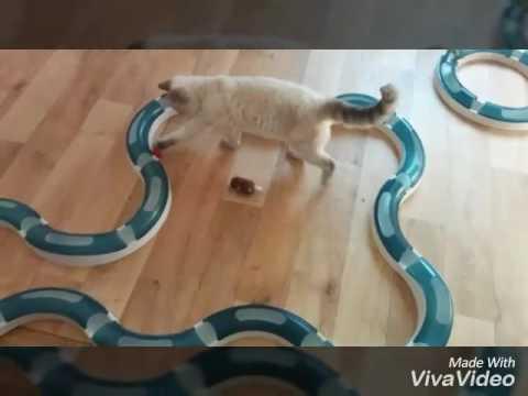 Selkirk Rex :) süße Katzen