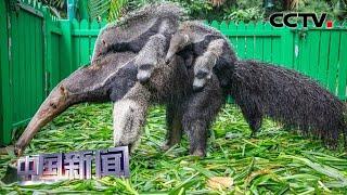 [中国新闻] 广州:亚洲首例成功繁育大食蚁兽龙凤胎亮相 | CCTV中文国际