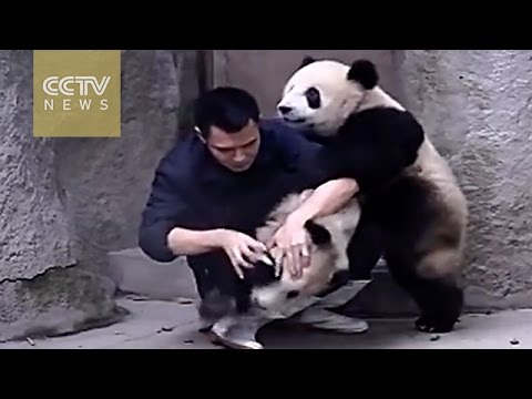 Cute Alert!Clingy pandas don't want to take their medicine from YouTube · Duration:  1 minutes 50 seconds