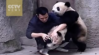 【動物園】パンダ2頭が薬を与えようとする飼育員に絡みまくる!