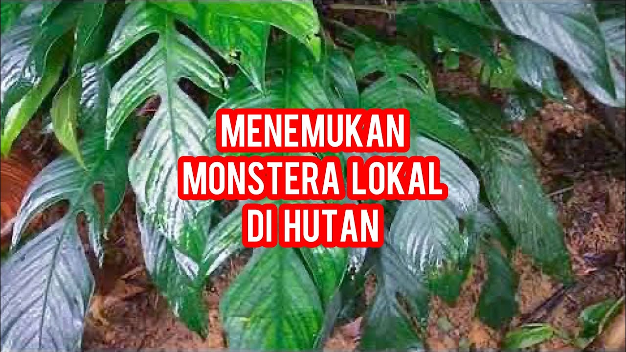 Berburu Tanaman Monstera Lokal Di Hutan Kalimantan Barat Youtube