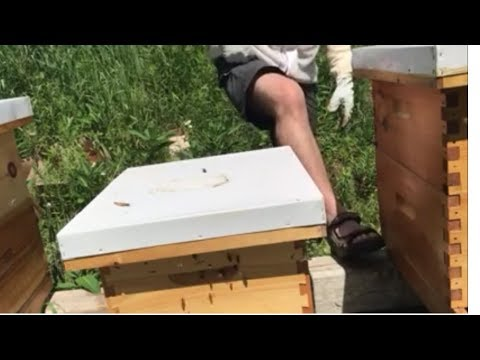 Beekeeping in shorts. Adding a second brood box. Too hot for pants.