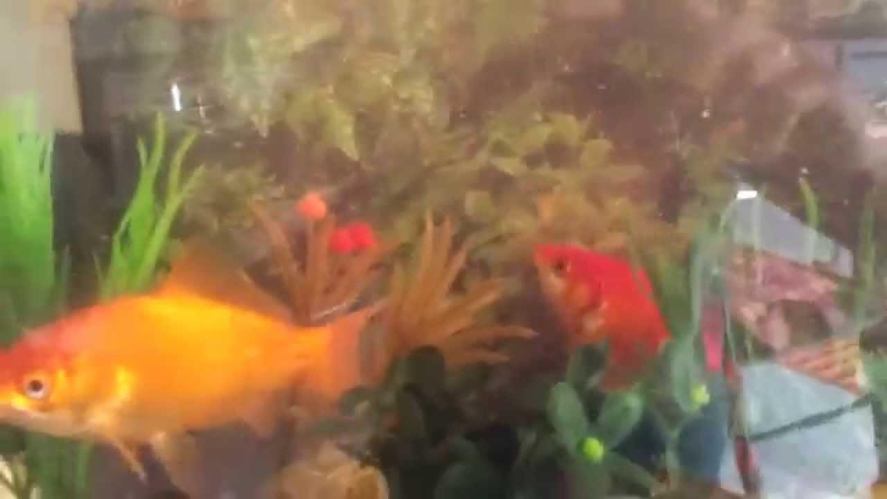 Pesci rossi giganti youtube for Vasca x pesci rossi