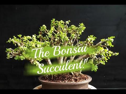 Creating An Elephant Bush Bonsai Planter