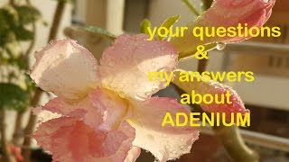 Desert Rose Adenium Care Fertilizer Watering Your Questions My Answers
