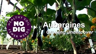 Aubergines in cooler summers, n๐ dig and no fertiliser or feeds, two stems each
