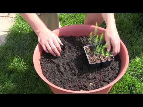 how-to-grow-asparagus-in-containers---complete-growing-guide