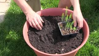 How to Grow Asparagus In Containers - Complete Growing Guide