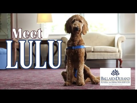 Ballard-Durand Funeral and Cremation Services has a new four-legged staff member, Lulu. The certified therapy dog offers comfort for grieving families.