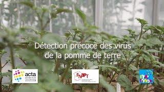 Détection précoce des virus de la pomme de terre