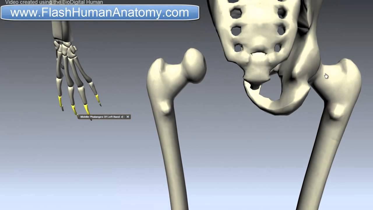 Femur Anatomy Thigh Bone Lower Limb - YouTube