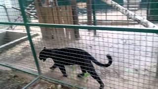 Экопарк чёрная пантера