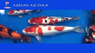 Japanese Koi Variety Explanation: 3 Most Popular Types (Gosanke - Kohaku, Showa, Taisho Sanke)