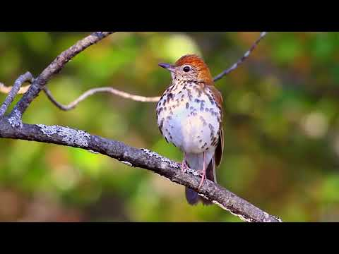 Top Bird Sounds and Songs of the United States
