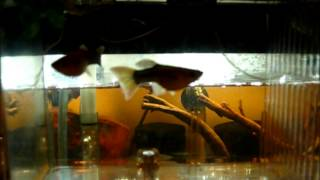 10g dwarf cichlid project tank with marina breeder boxes