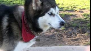 Siberian Husky Facts - Facts About Siberian Huskies