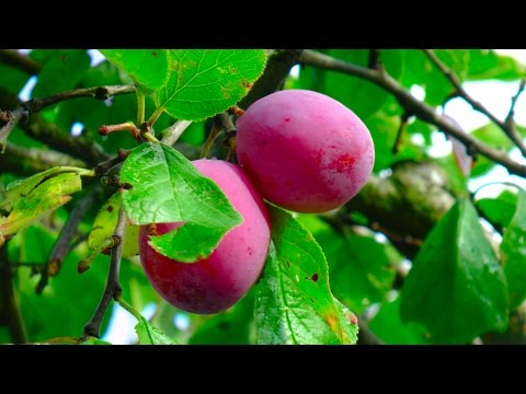 Plums nutritional fact