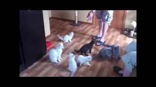 Питомник британских и шотландских кошек Greycat www.grey-cats.ru