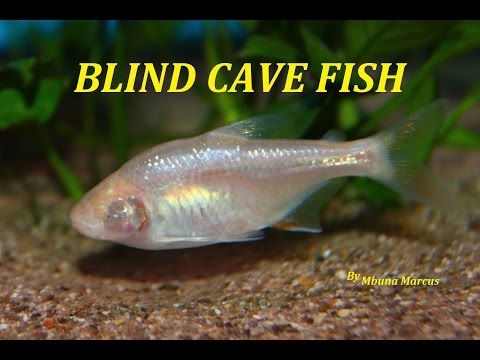 SUPER COOL AQUARIUM FISH | BLIND CAVE TETRA (Astyanax Mexicanus)