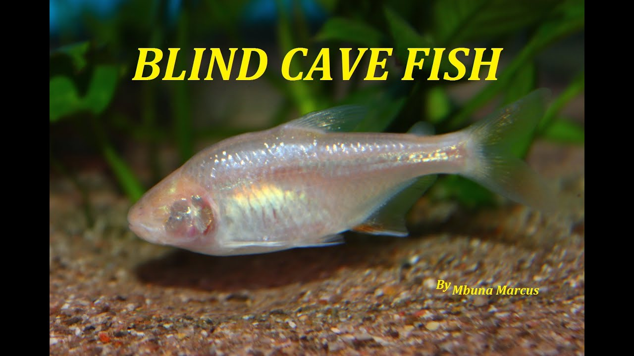 Blind Cave Tetra Astyanax Mexic
