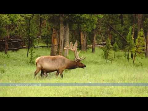 Large Bull Elk Western Wildlife Yellowstone National Park Raining