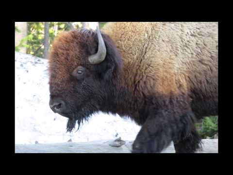 Yellowstone Safari 2017
