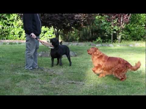 playing-ball-with-the-dogs-black-lab-and-golden-retriever-:)