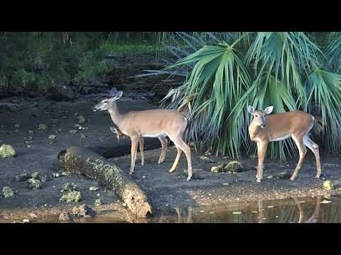 Deer Along the Indian Canal