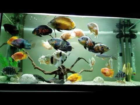 Oscar Fish Aquarium 8/2016 750L 1.5m