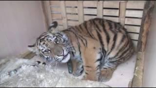 Котенок амурского тигра