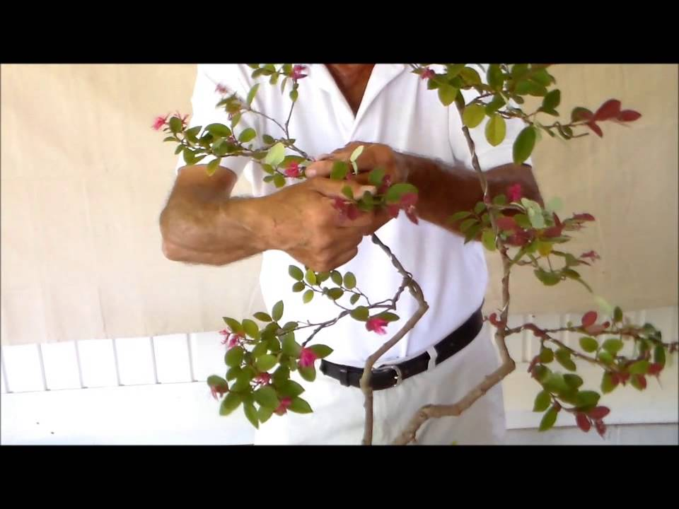 Bonsai With Merv 8 29 73 Loropetalum Pt2 Youtube