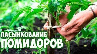 видео Как подвязать томаты, чтобы не ломались ветки с плодами