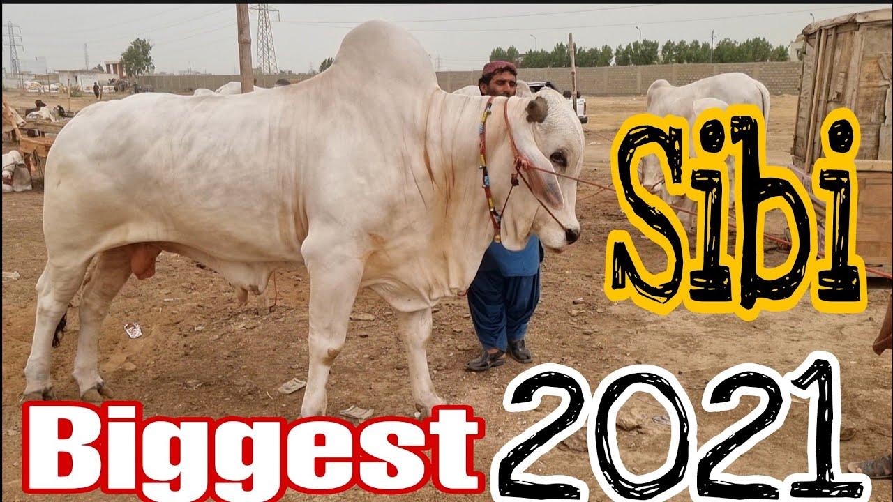 Giant Sibi Bulls in Sohrab Goth Mandi 2021| Complete Documentary