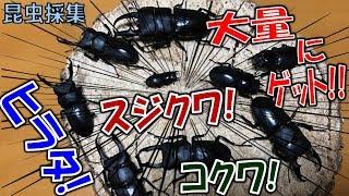 クワガタ&カブトムシ☆昆虫採集2017 クワガタ採集で大量にクワゲット!...