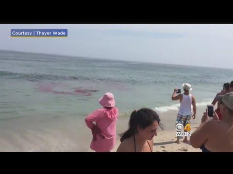 Shark Attacks Seal Near Surfers Off Cape Cod
