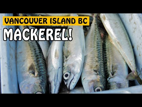 Mackerel On Light Tackle | Fishing With Rod