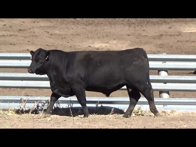 Connealy Angus Lot 29