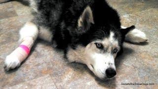 Siberian Husky Oakley After Dentist, I Mean Vet! *snow Dog Short #10*