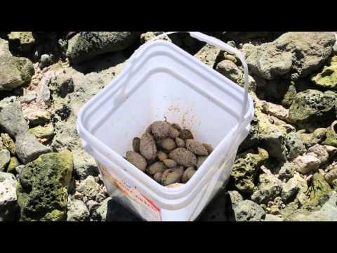 Tuvalu Funafuti Famille cherchant des coquillages / Tuvalu Funafuti Family looking shells