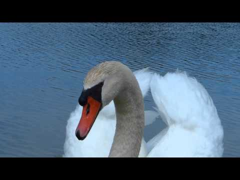 Mute Swan Giving Me The Business