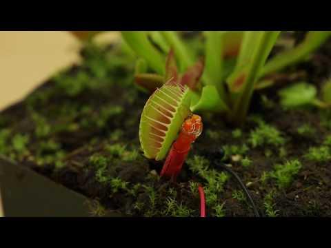 The Plant SpikerBox: Venus Flytrap Electrophysiology Experiment